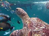Green Turtle (Chelonia mydas) at Similan island, Thailand