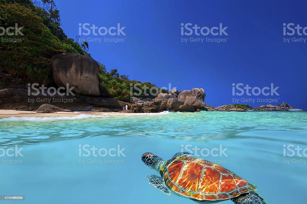 Green Turtle at Similan Islands stock photo