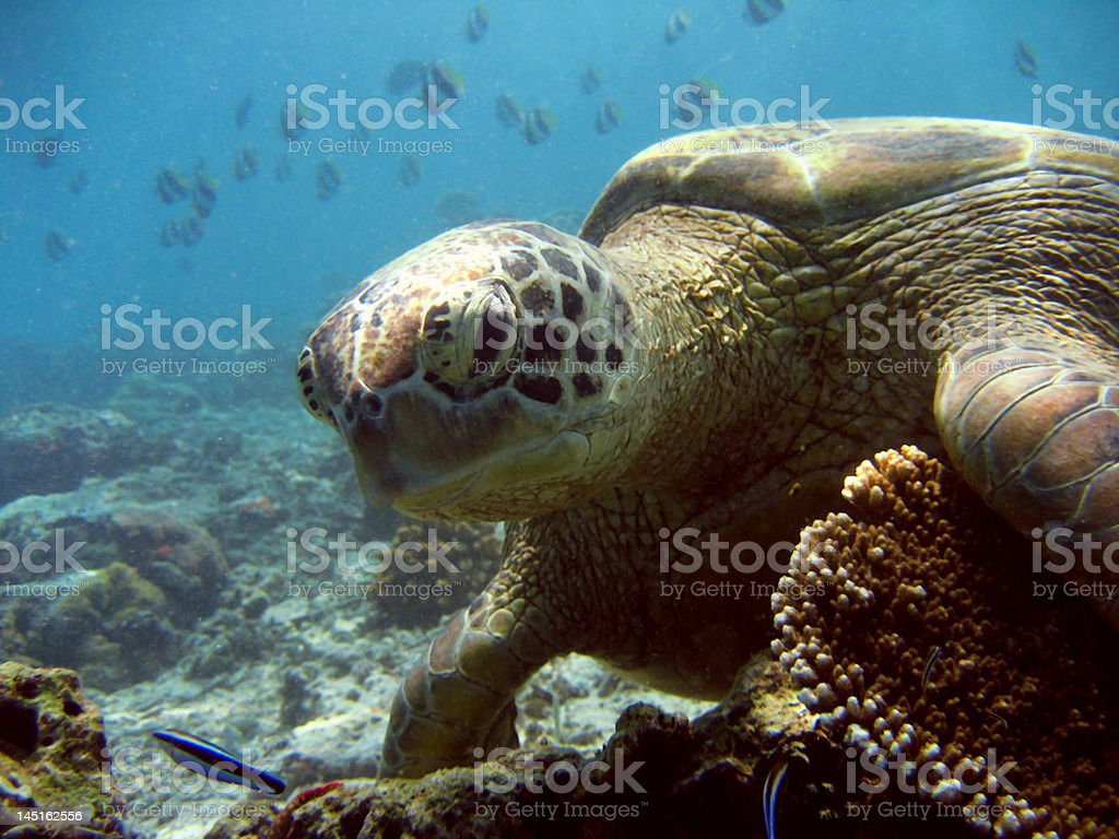Green Turtle Close-up royalty-free stock photo