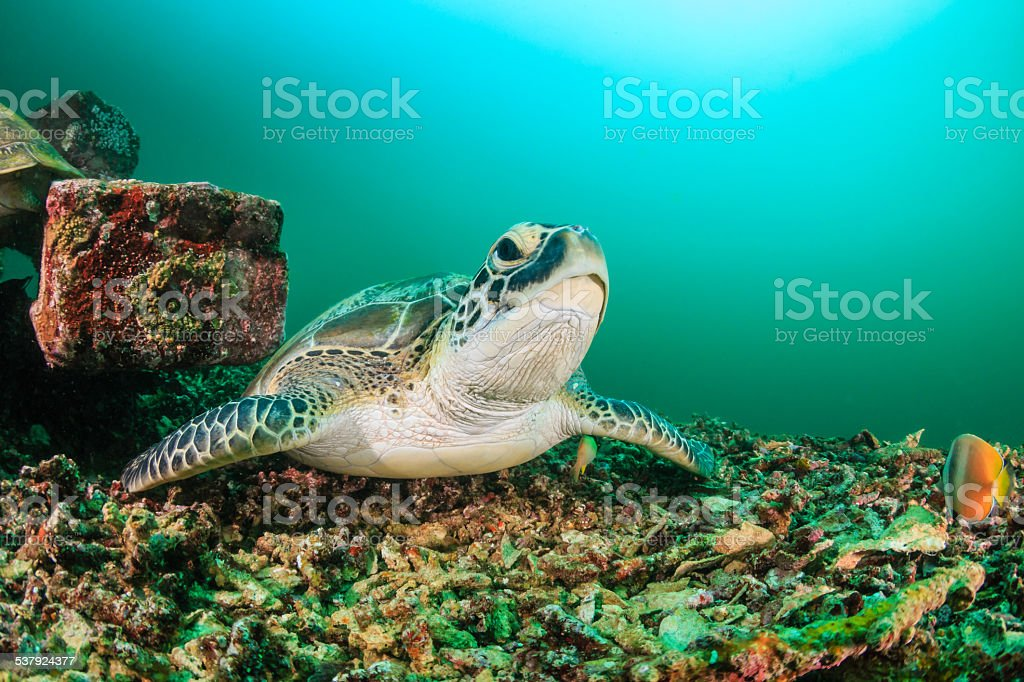 Green Turtle during an algae bloom stock photo