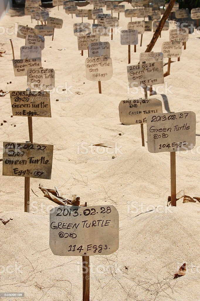 Green turtle eggs buried on the beach in a hatchery stock photo