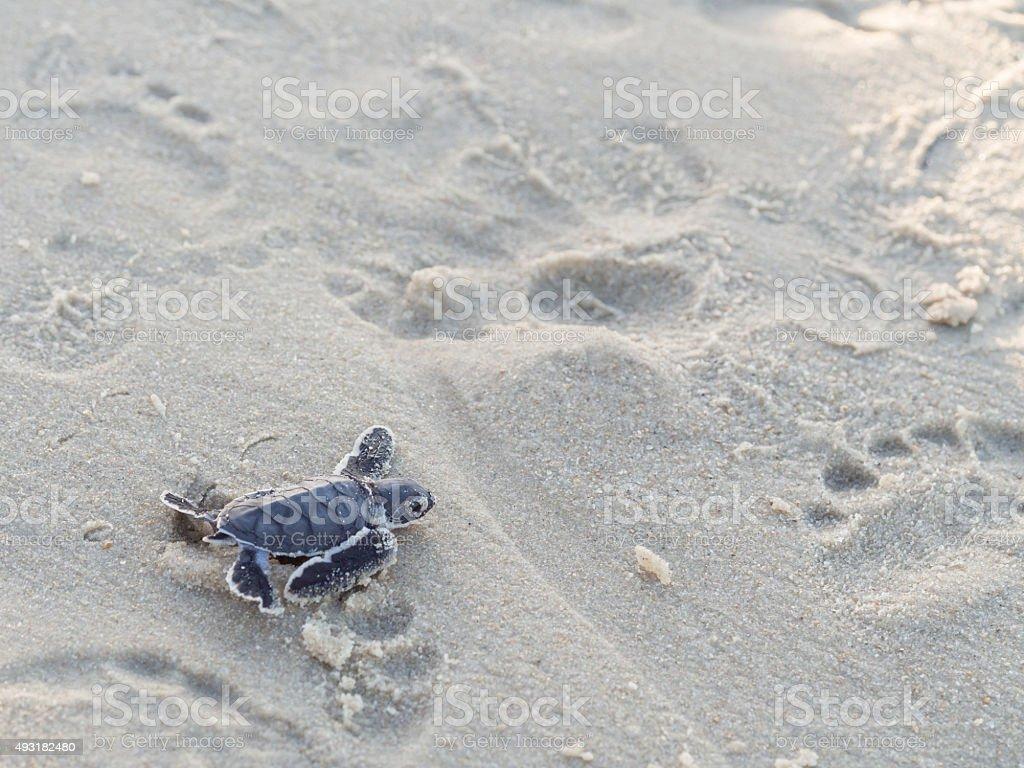 Green turtle hatching stock photo