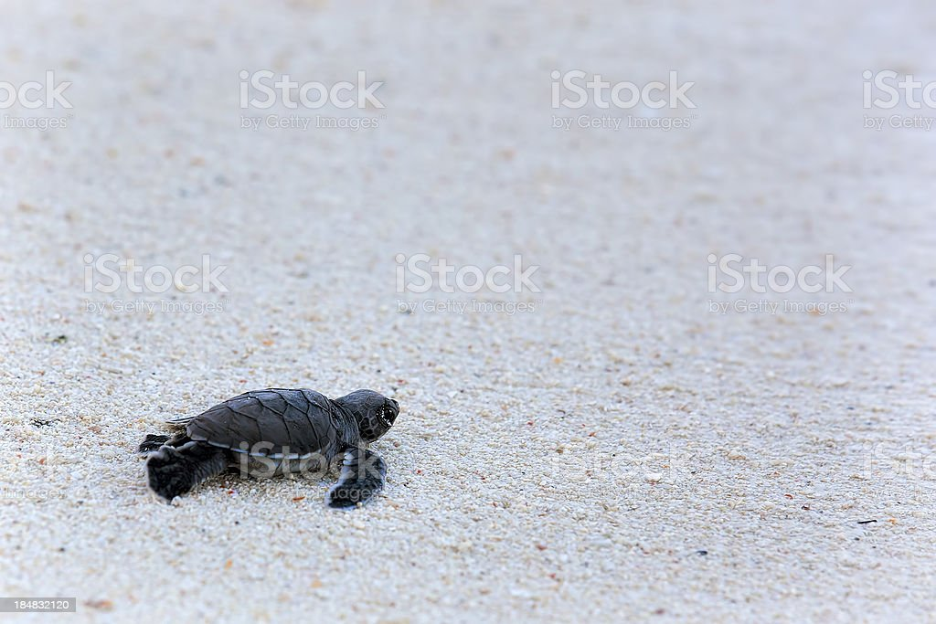Green Turtle Hatchlings stock photo