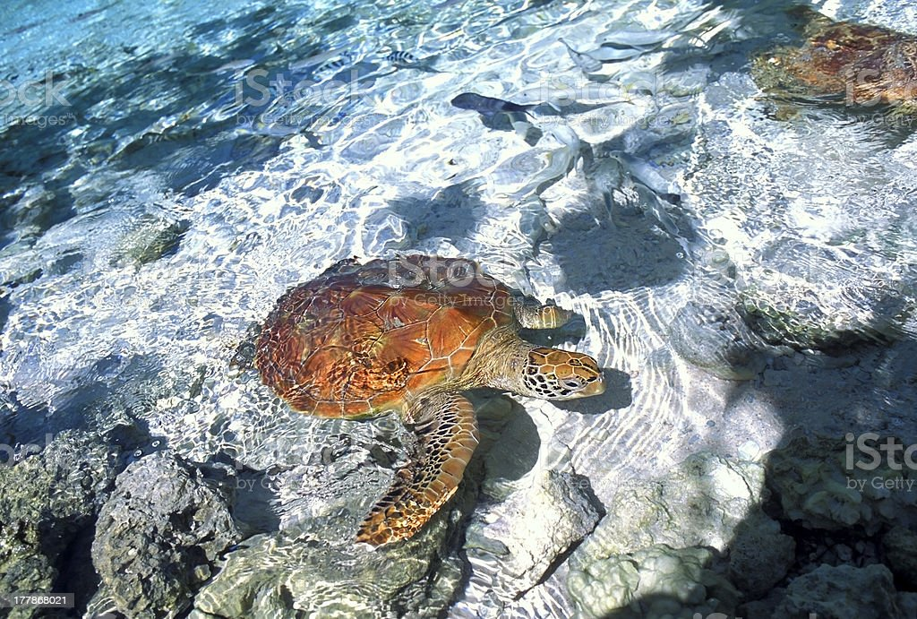 Green turtle in shoal royalty-free stock photo