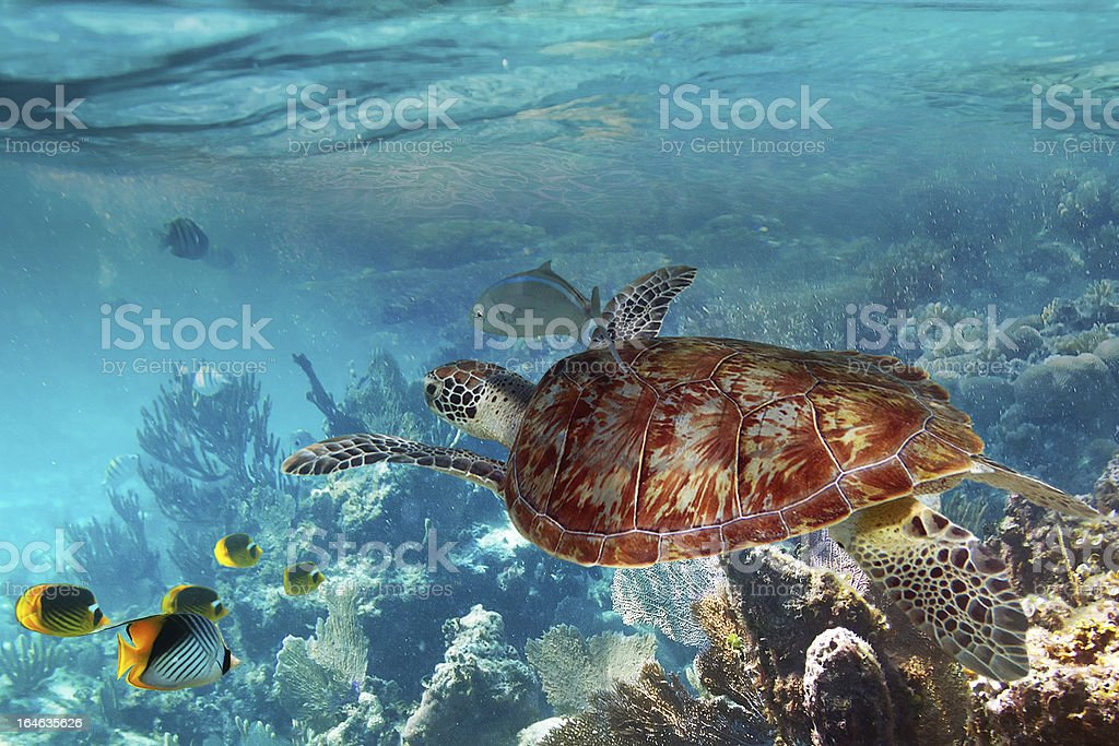 Green turtle in the tropical water royalty-free stock photo