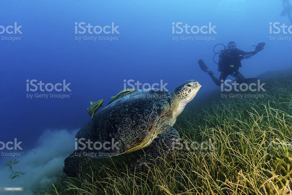 Green Turtle kicks up a cloud of silt royalty-free stock photo