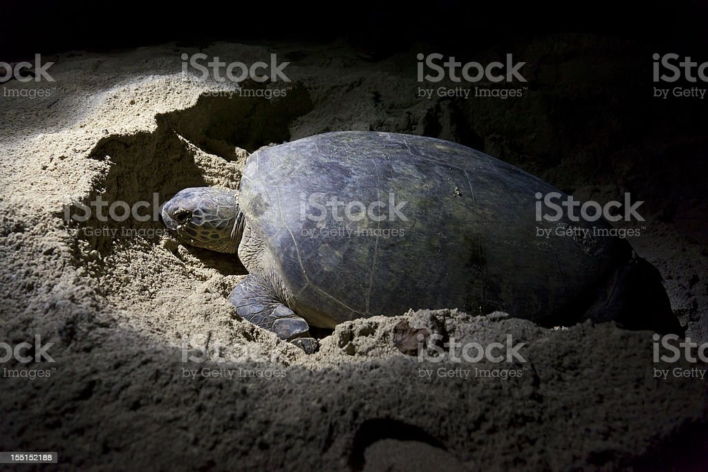 Green turtle laying eggs on beach at night stock photo