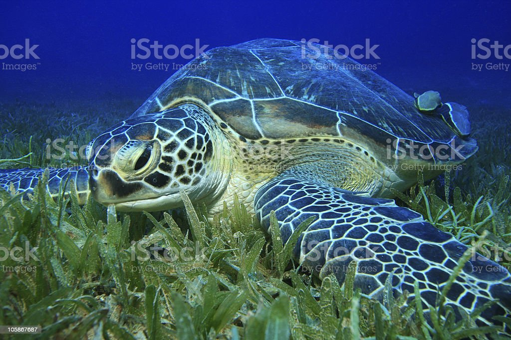 Green Turtle royalty-free stock photo