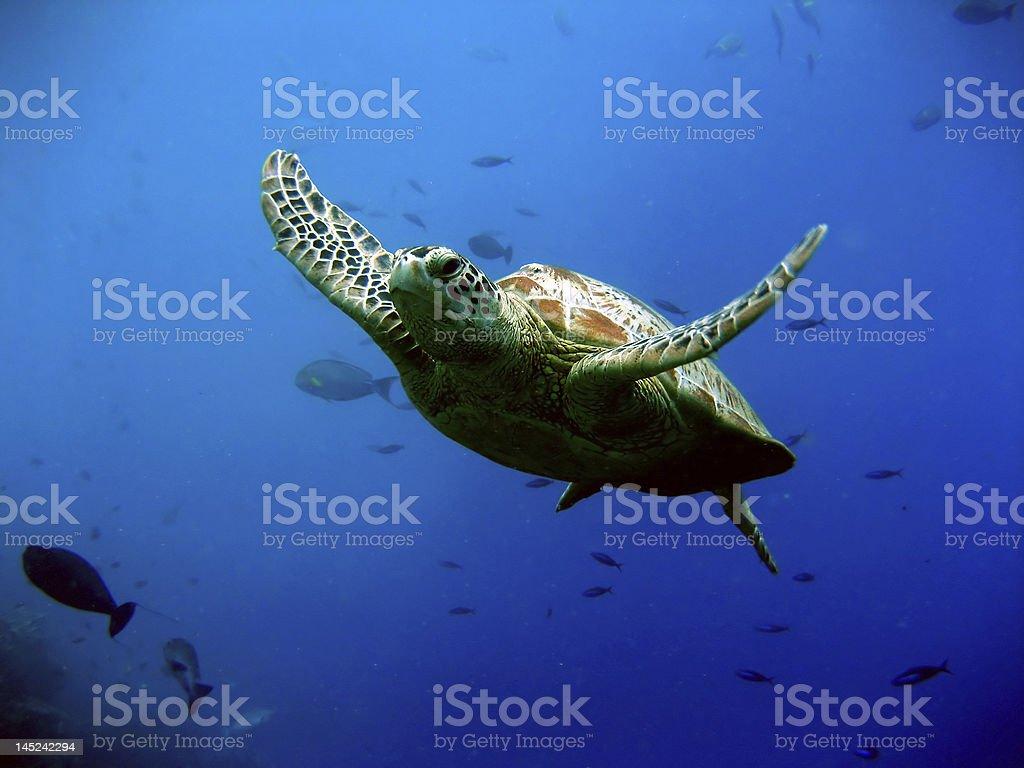 Green Turtle stock photo
