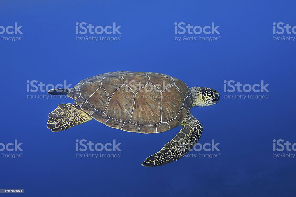 Green Turtle royalty-free stock photo