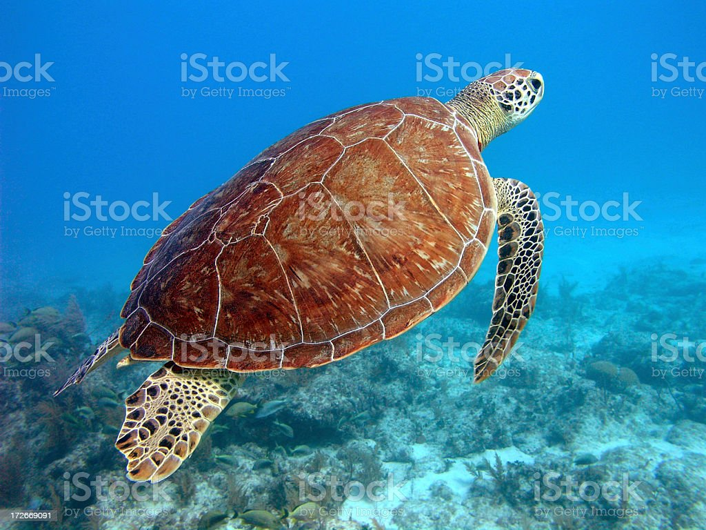 Green Turtle Rising from the Ocean Floor. stock photo