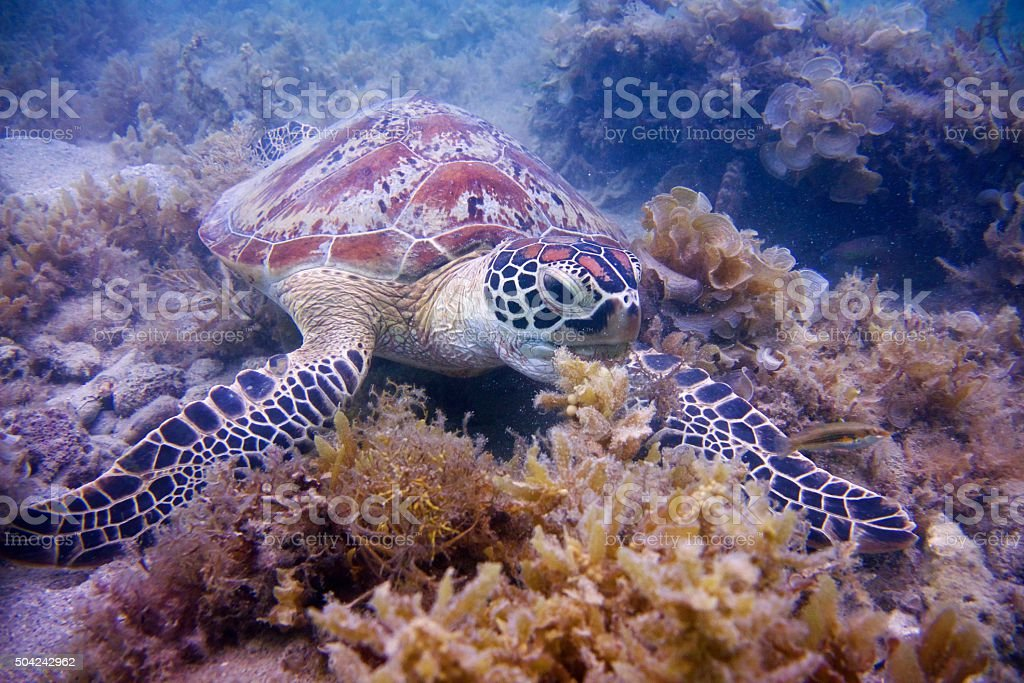 Green turtle swimming and eating sea weed stock photo