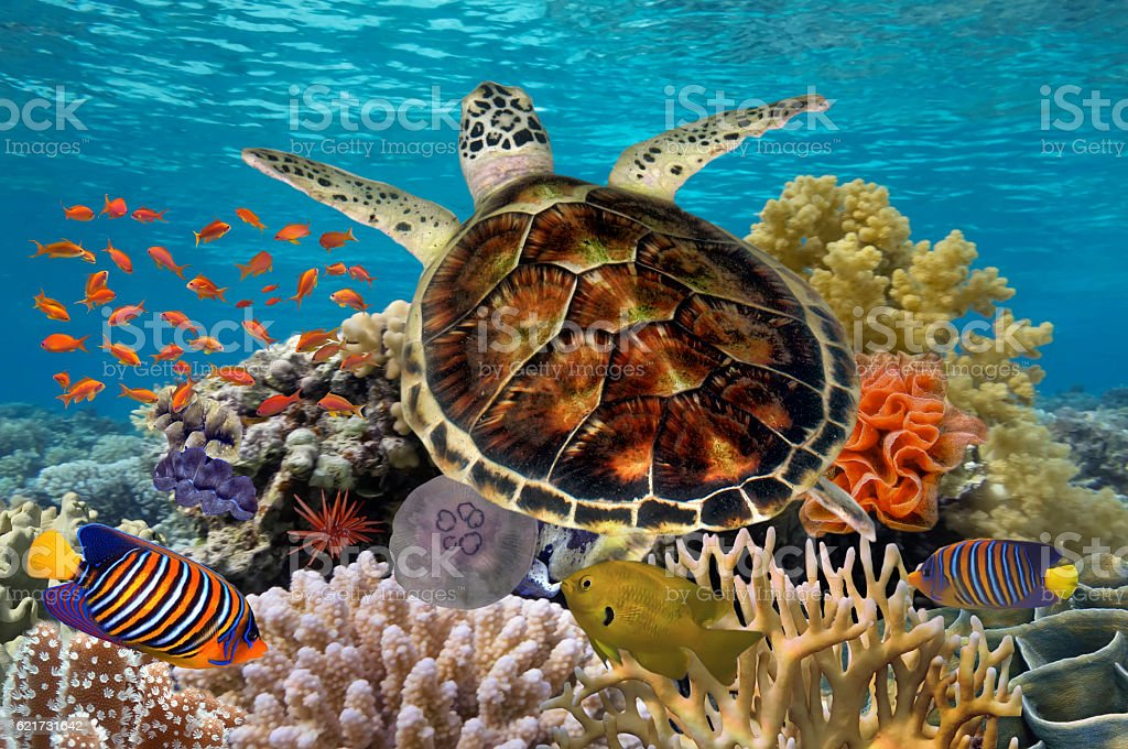 Green turtle swimming in blue ocean stock photo