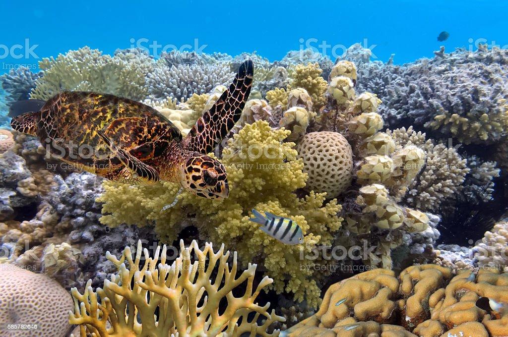 green turtle swimming in blue ocean,great barrier reef stock photo