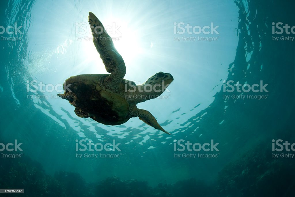 Green turtle swimming under the water stock photo