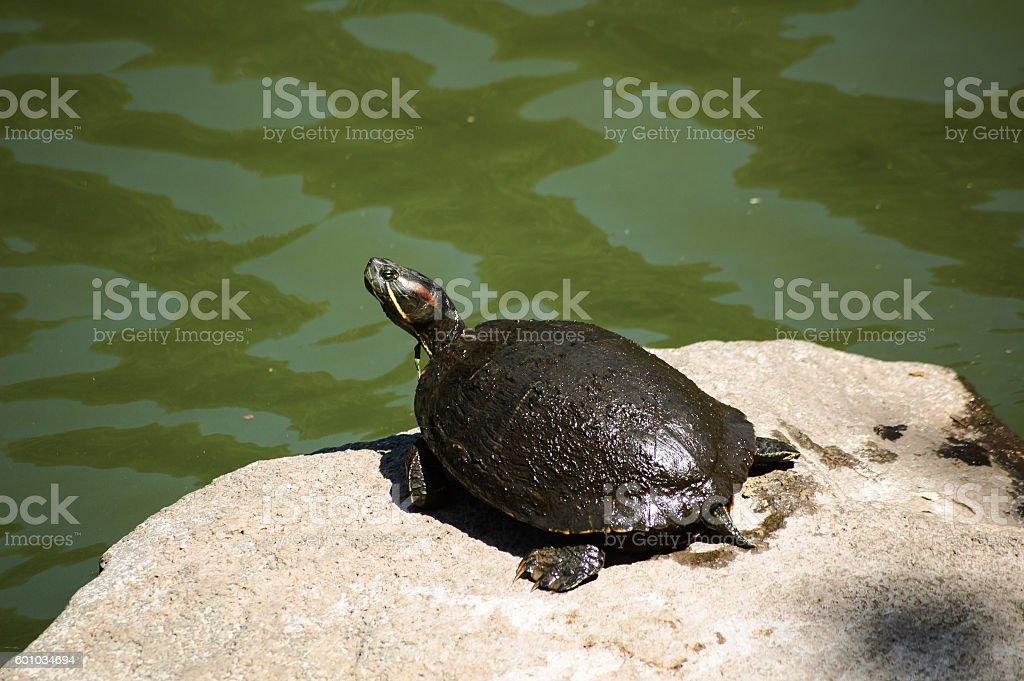Green turtle was wild stock photo
