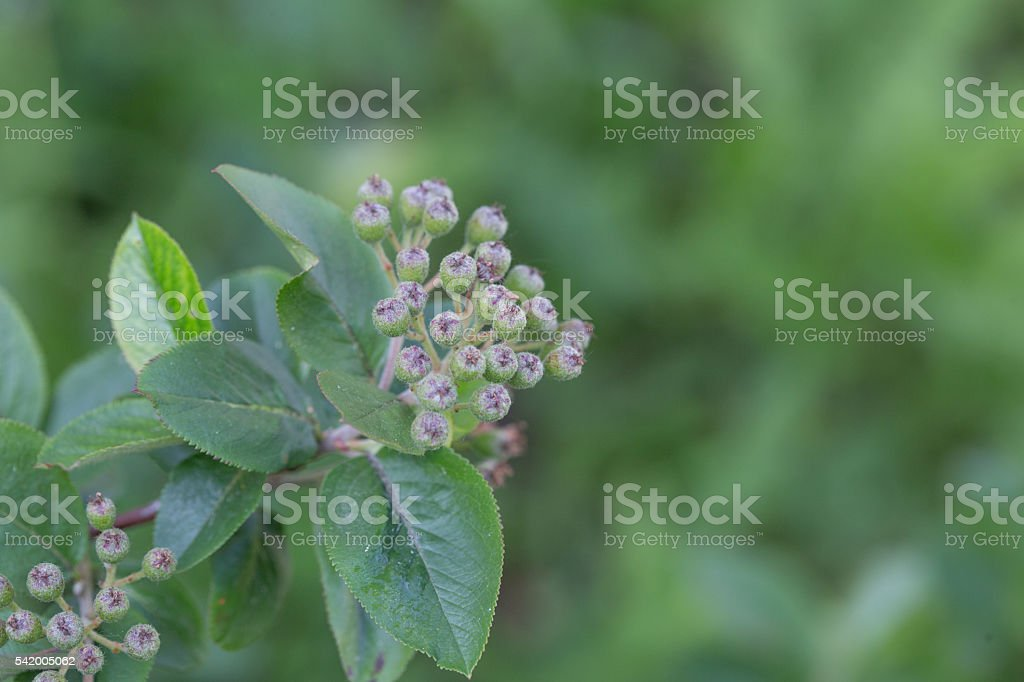 Green twig of irga with not ripe berries stock photo