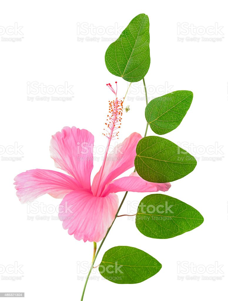 green twig of passionflower and pink hibiscus closeup stock photo
