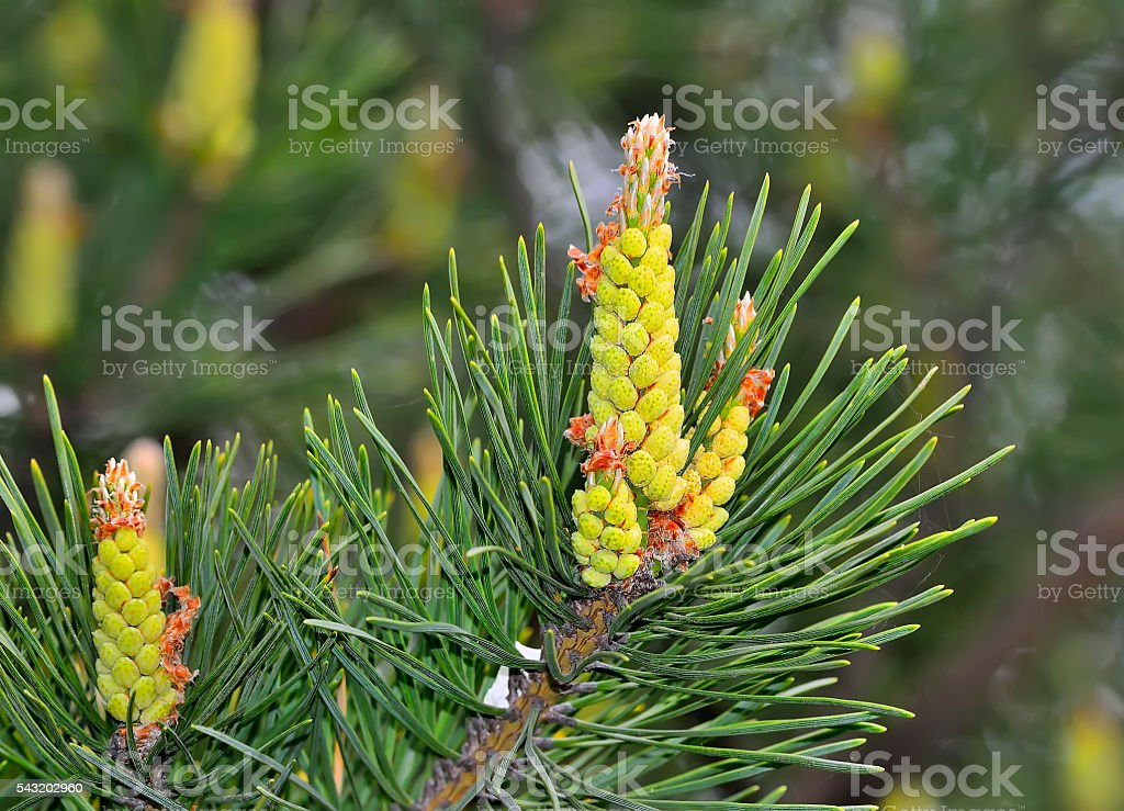Green twigs of pine tree with strobiles stock photo