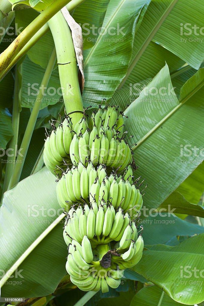 Green Niedojrzały bananów w Tajlandii zbiór zdjęć royalty-free