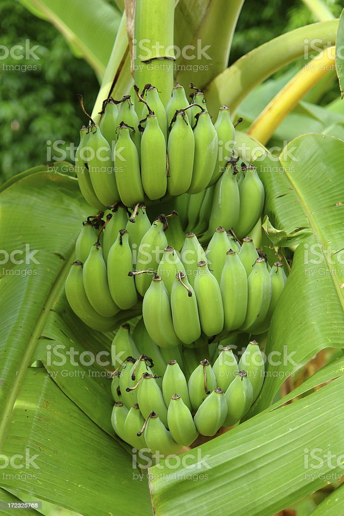 Green Unripe Bananas in Thailand stock photo