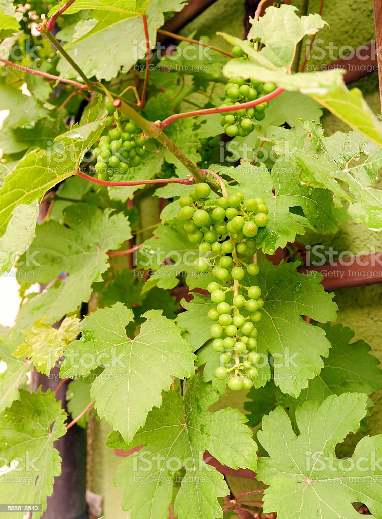 Green unripe grapes stock photo