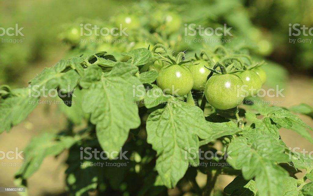 Green unripe tomatoes grow royalty-free stock photo