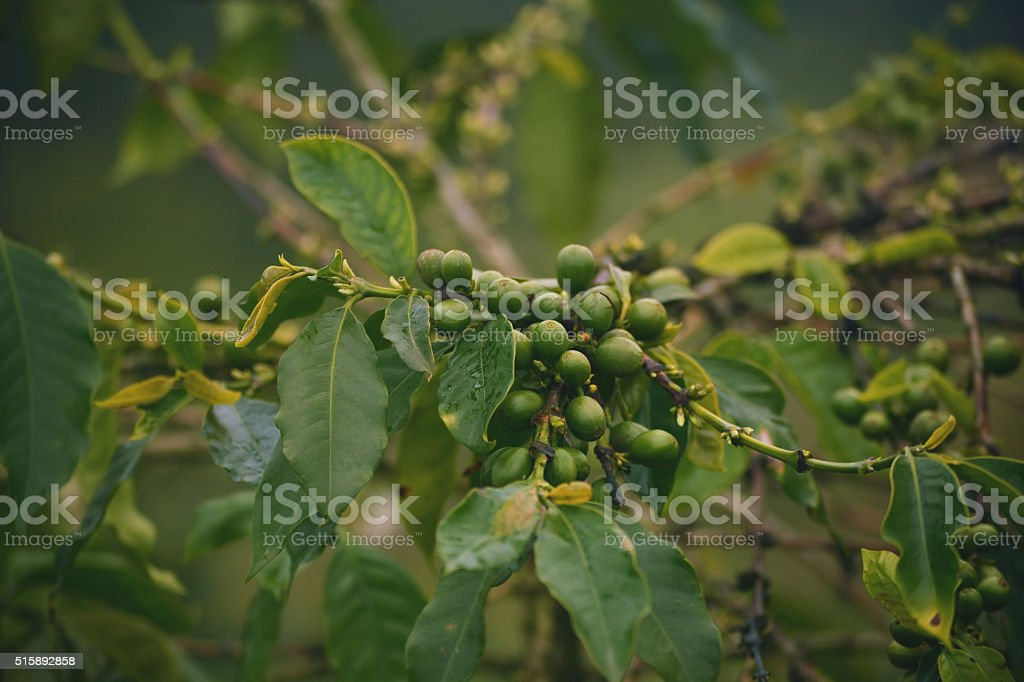 green unroasted coffee grains and one tree stock photo