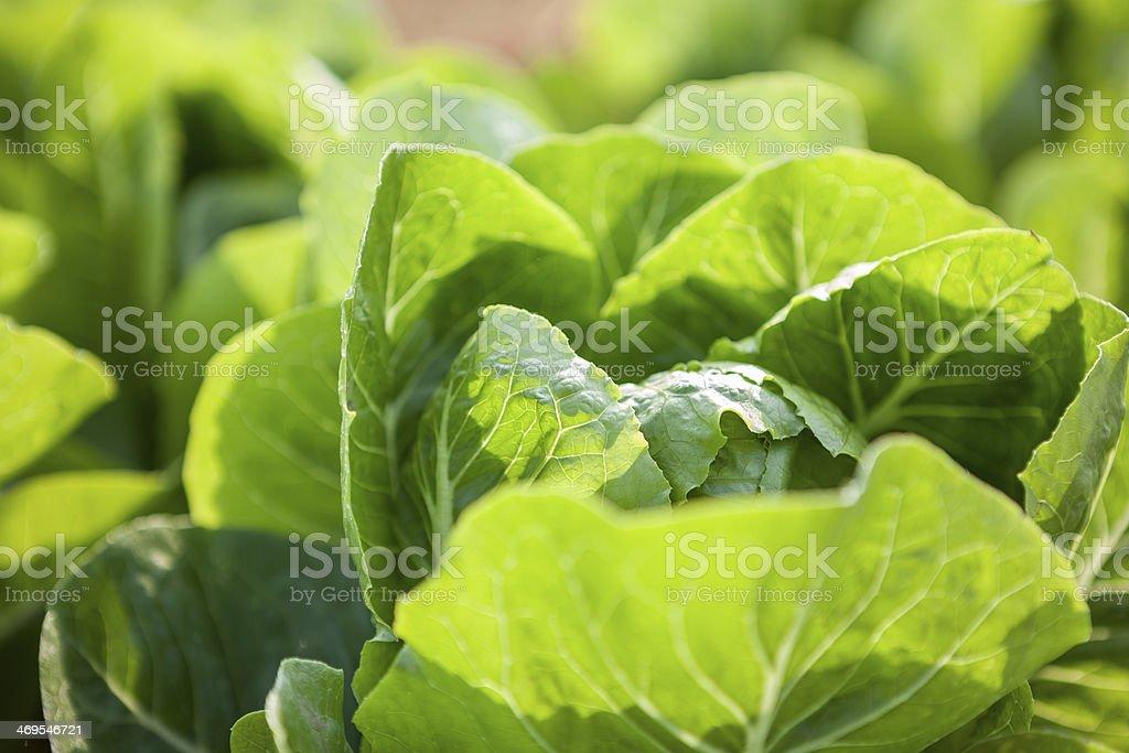 Green vagetable Lizenzfreies stock-foto