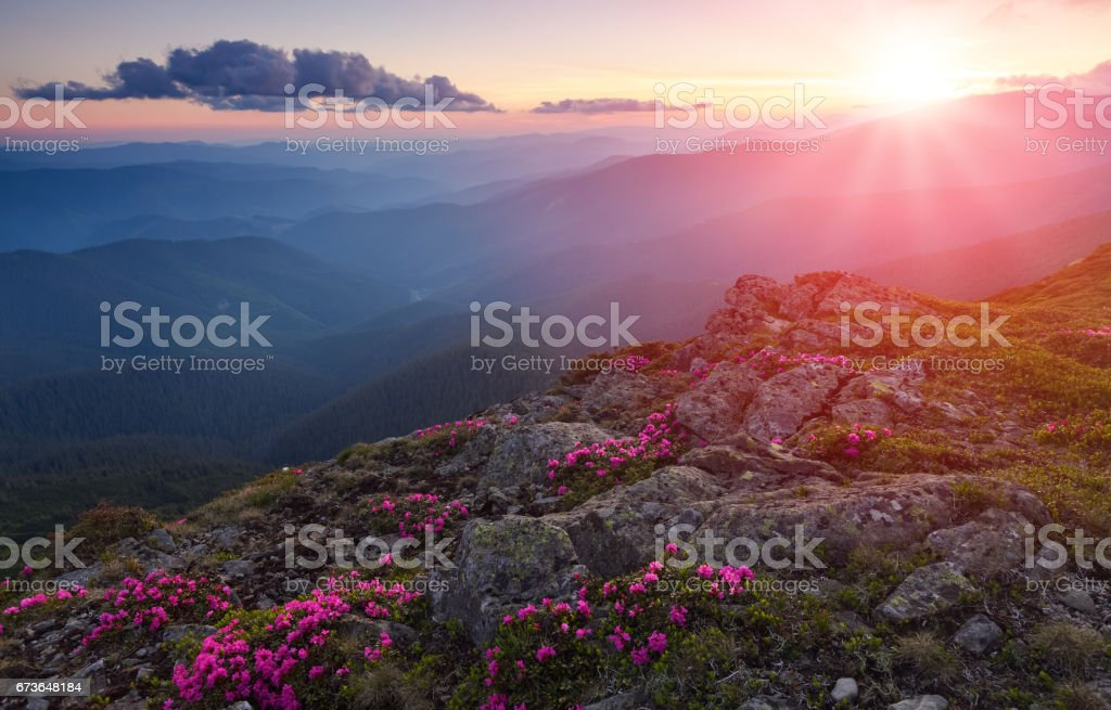 Green valley high on the mountains with the view to clear sky in summer day is spangled with many nice pink rhododendrons. stock photo