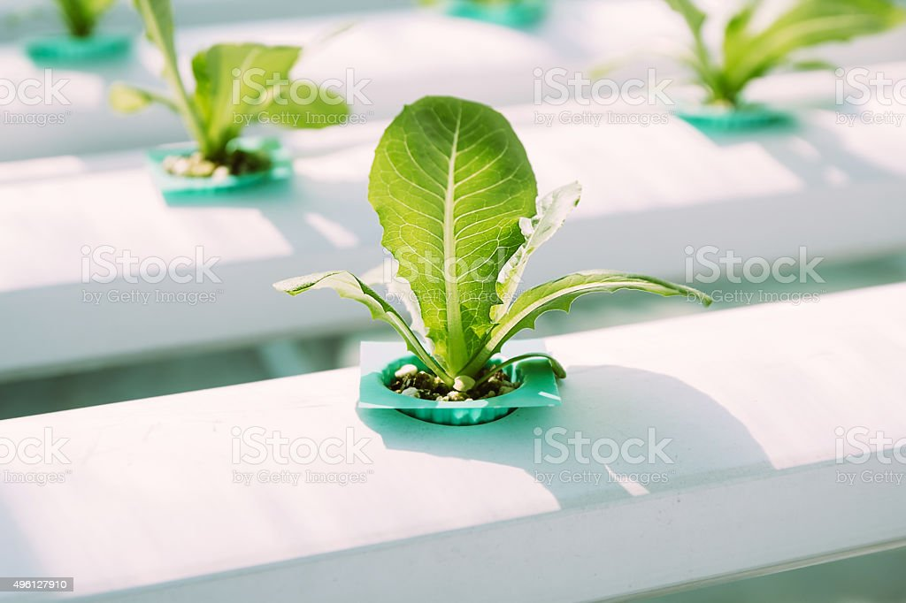 Green Vegetable hydroponics farm. stock photo