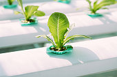 Green Vegetable hydroponics farm.