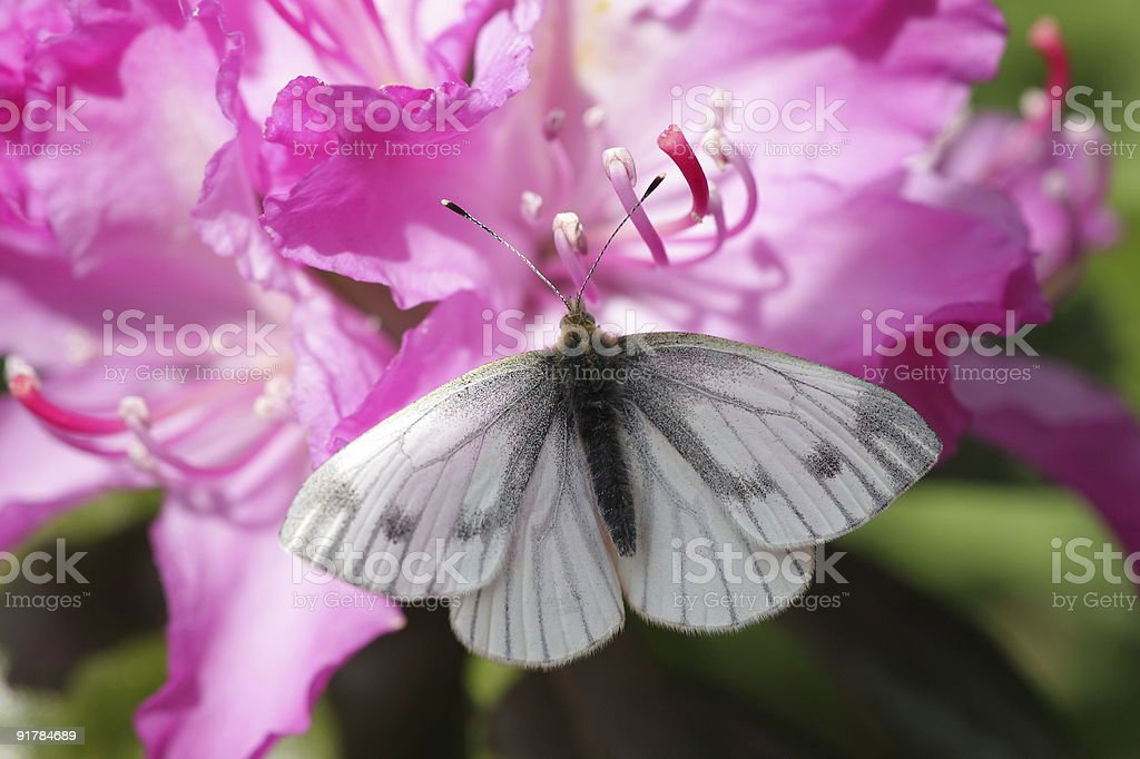 Green Veined White Butterfly stock photo