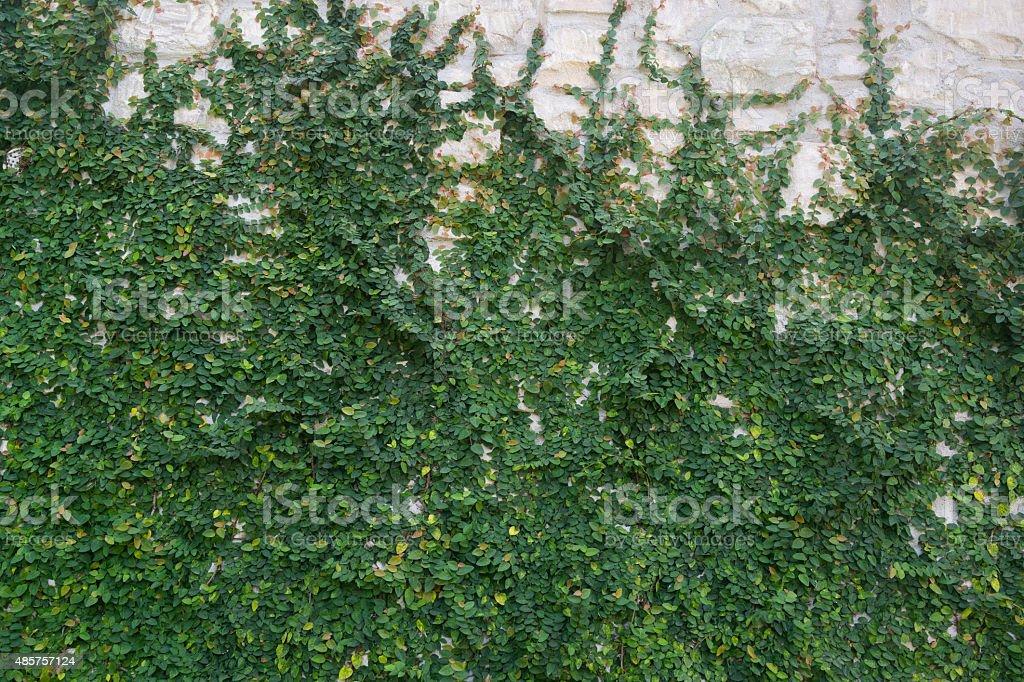 Vert vigne sur blanc mur de pierre photo libre de droits