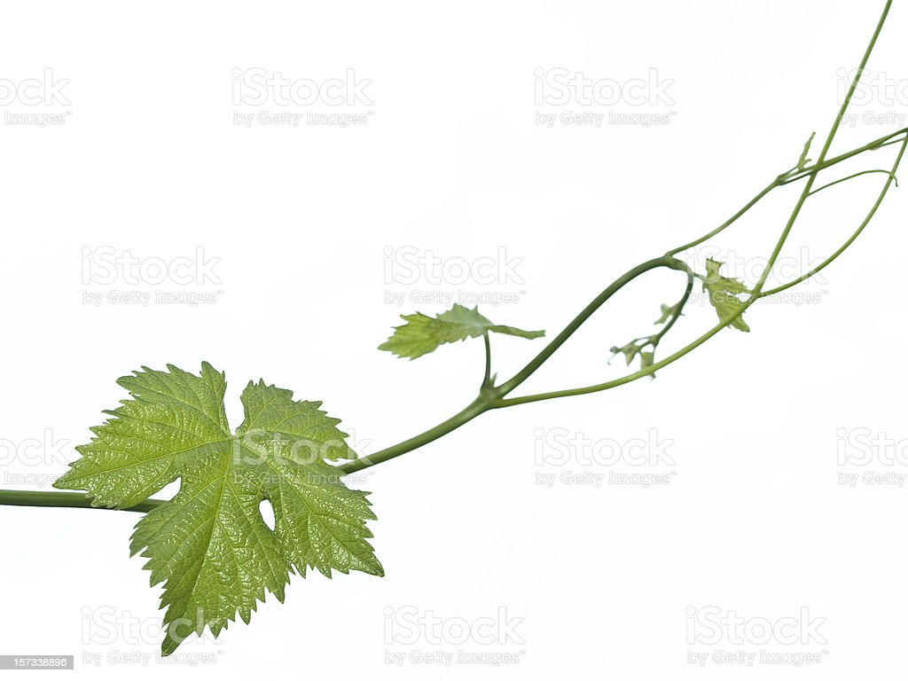 A green vine with a leaf on a white background royalty-free stock photo
