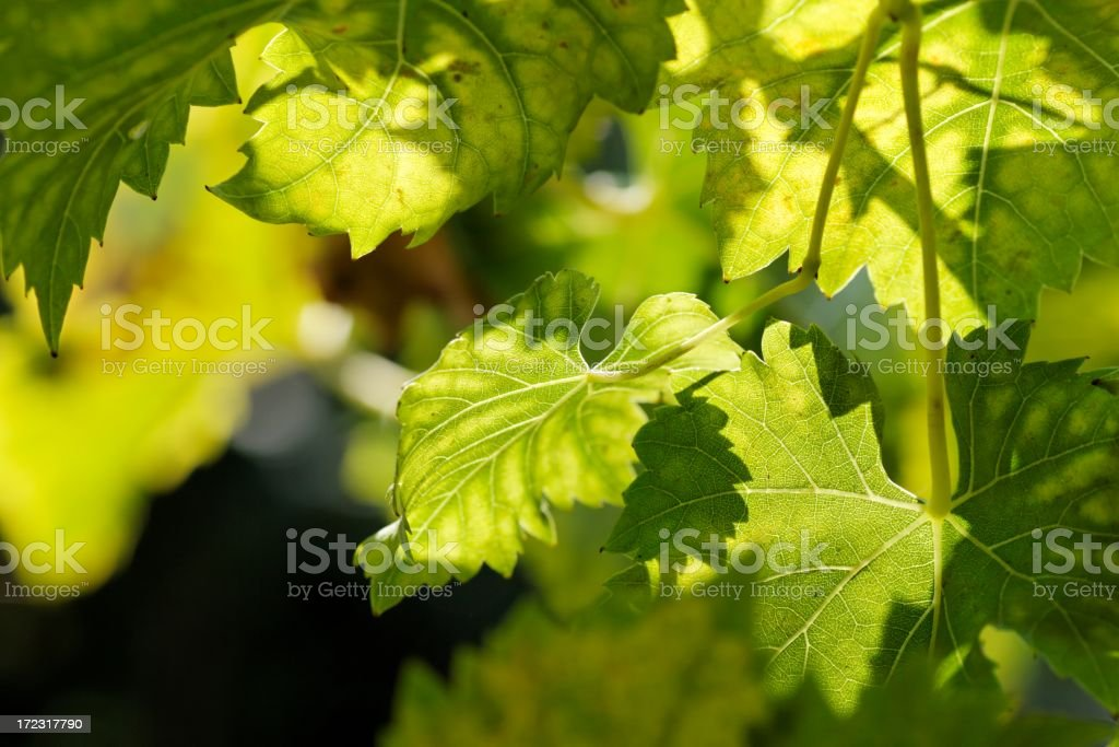 Green vines in the sunlight in the background stock photo