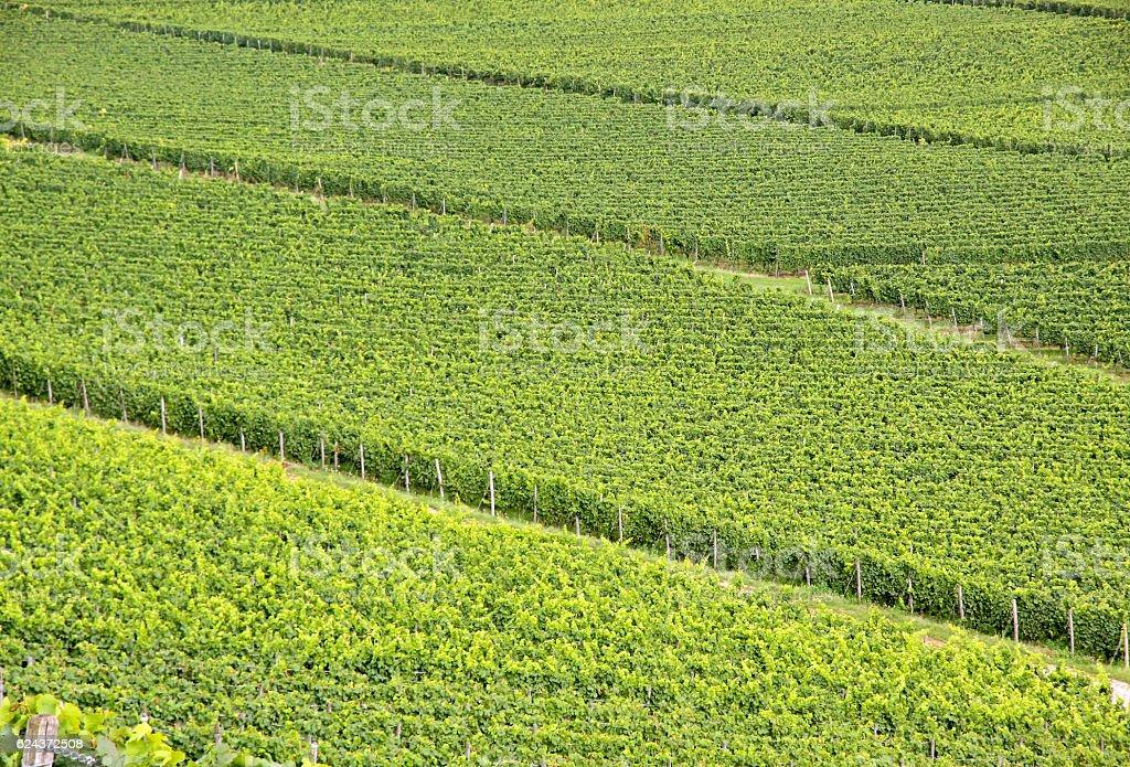 Green vineyard stock photo