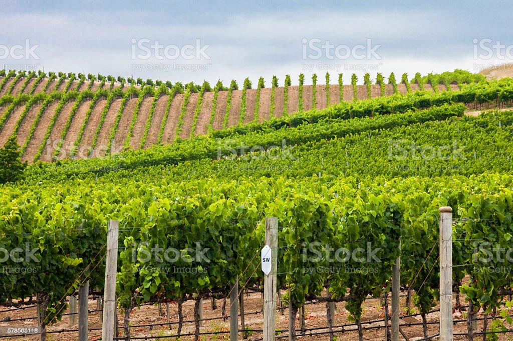 Green vineyard rows on rolling hills in Napa Valley California stock photo