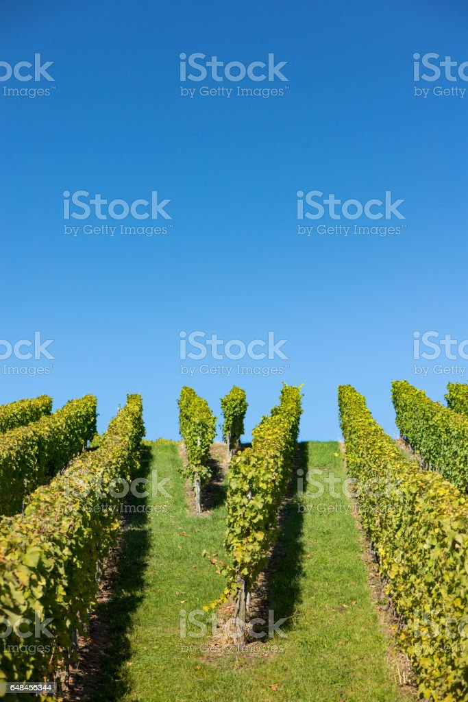 Green vineyard with clear blue sky stock photo