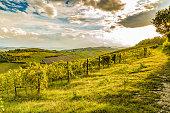 green vineyards of Italian hills
