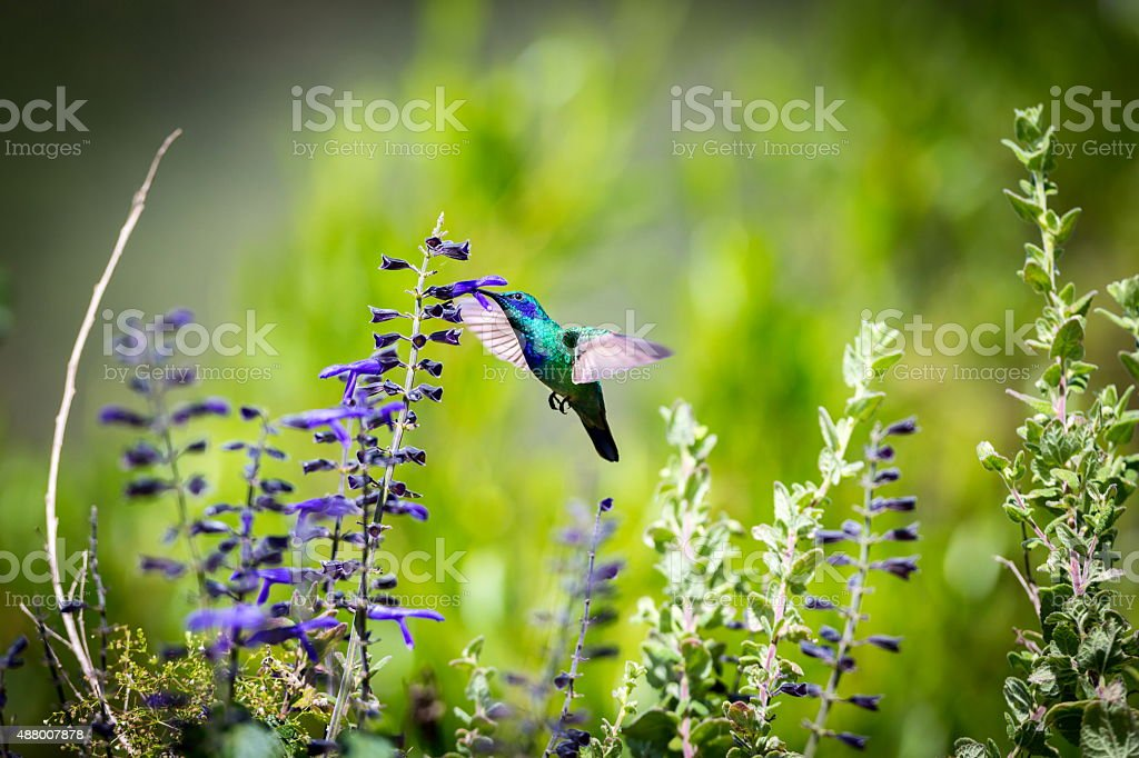 Green Violet Eared Hummingbird. stock photo