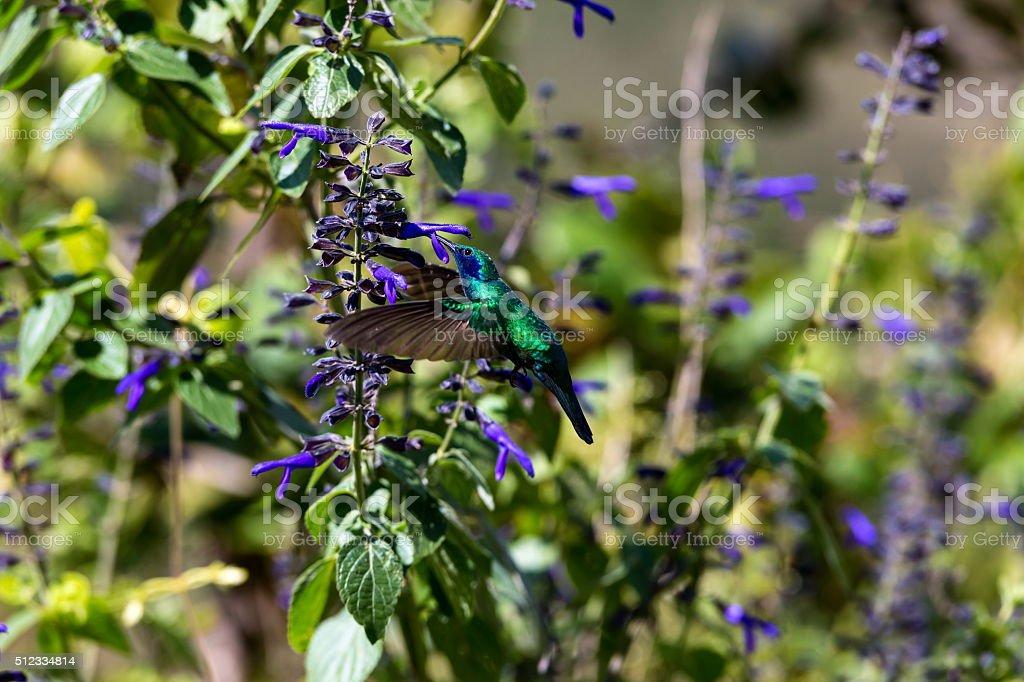 Green Violet Eared Hummingbird. stock photo