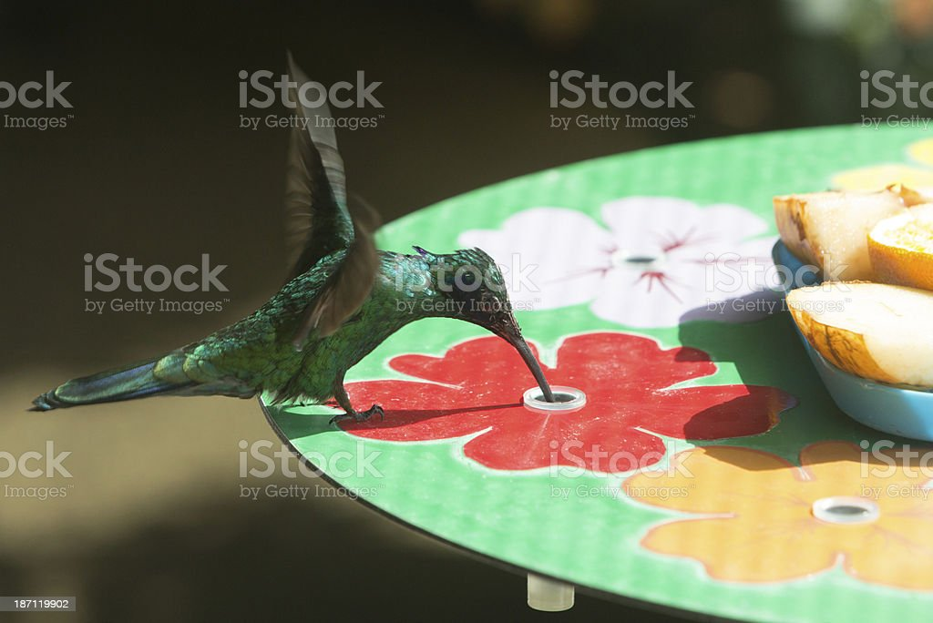 Green Violetear Hummingbird royalty-free stock photo