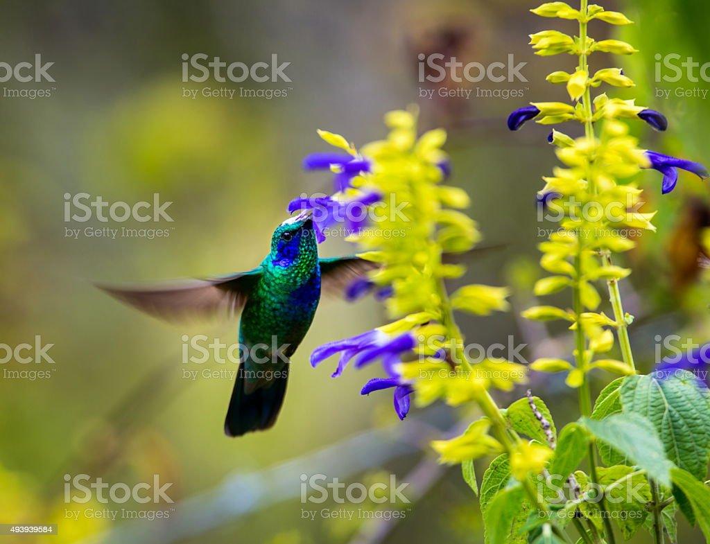 Green Violeteared Hummingbird. stock photo