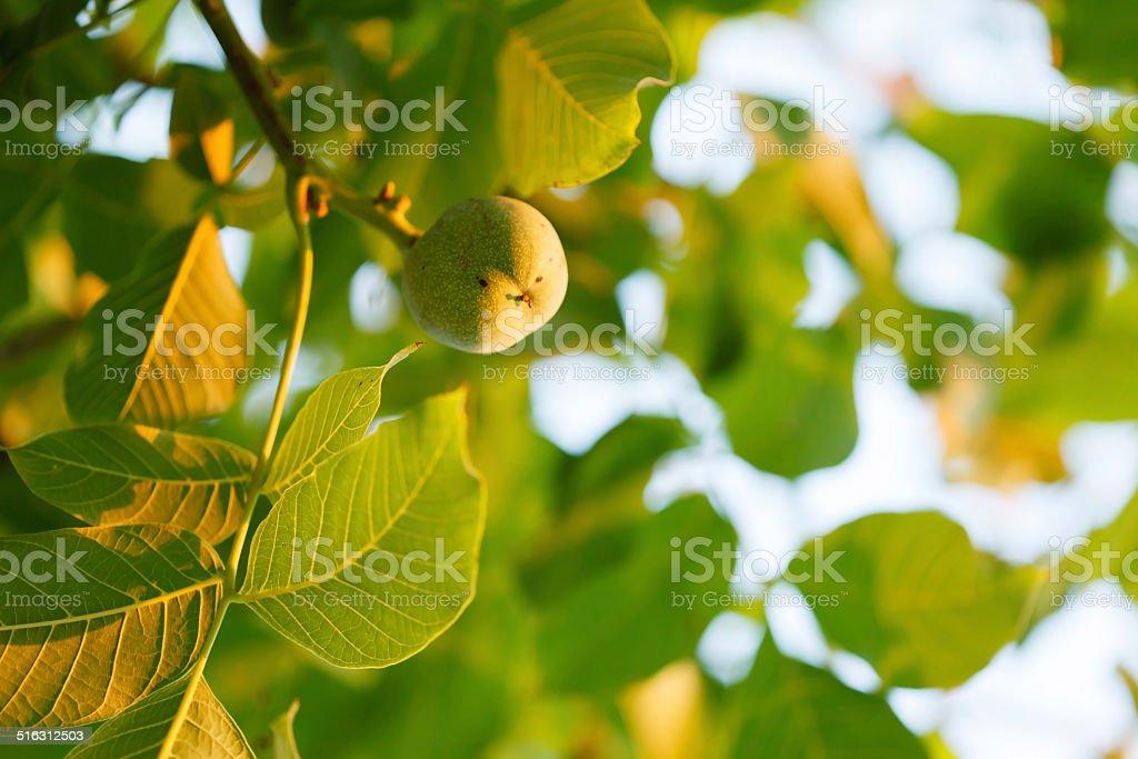 Green walnut growing on a tree stock photo