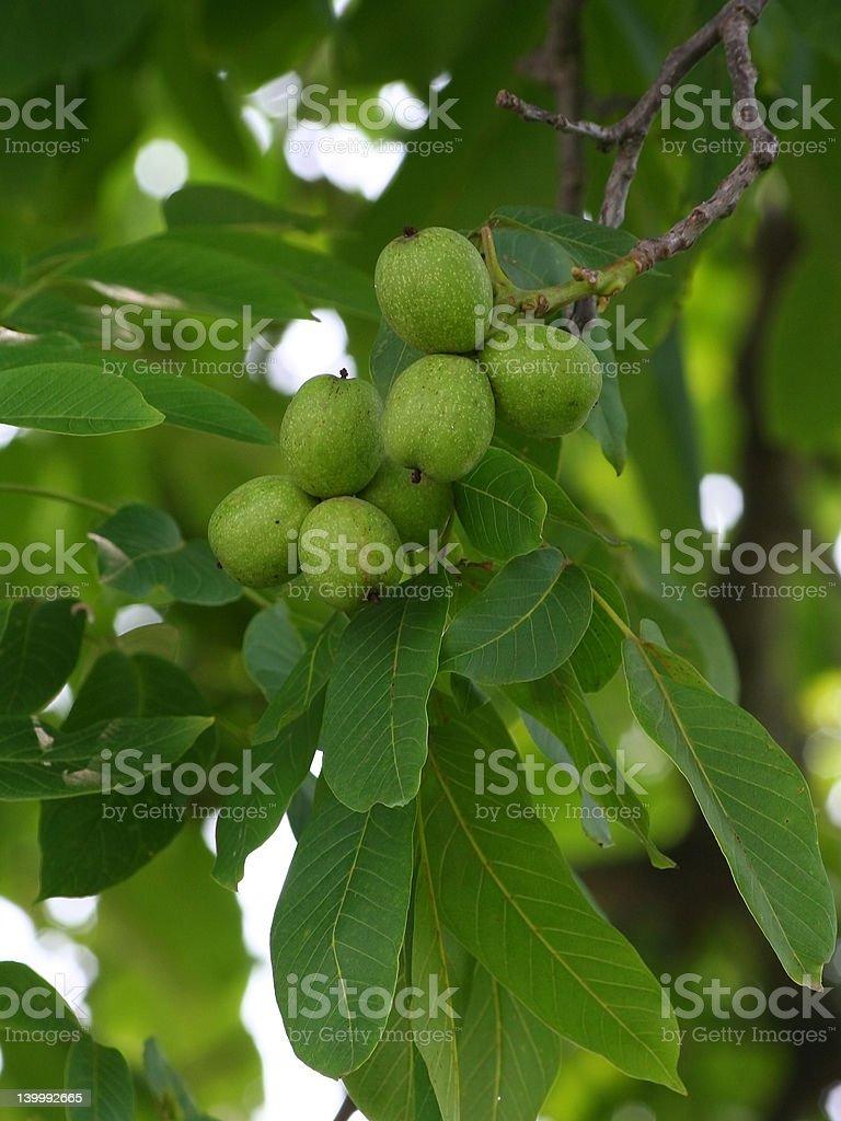 Green walnut royalty-free stock photo