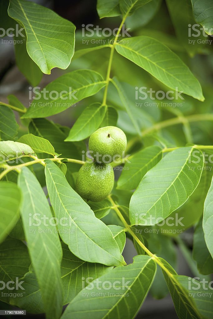 Green walnuts growing on a tree royalty-free stock photo