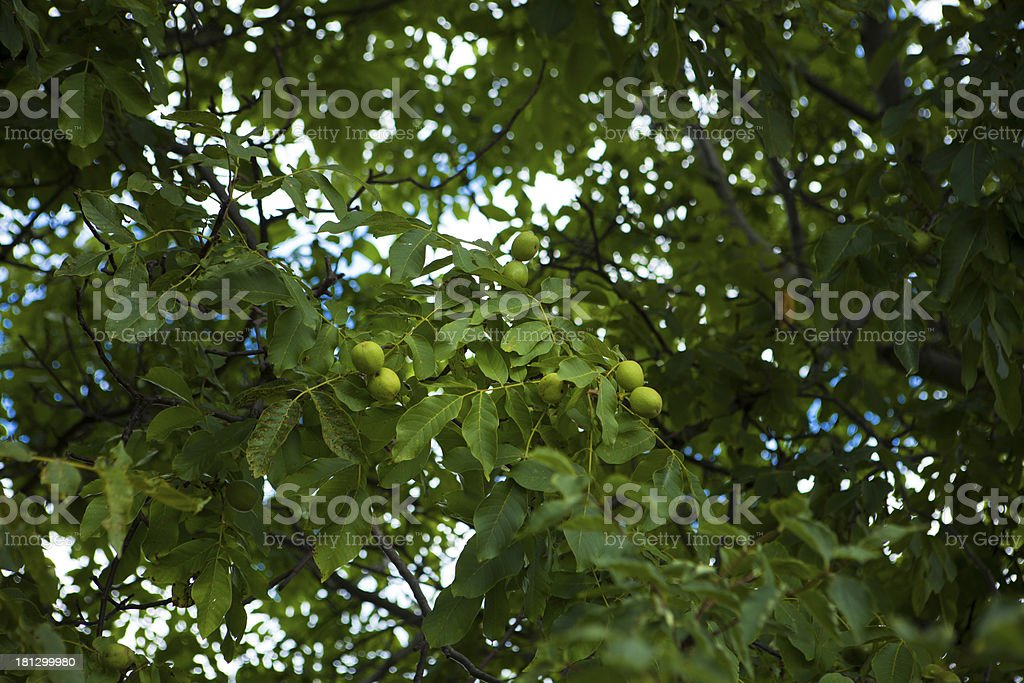 Green walnuts growing on a tree stock photo