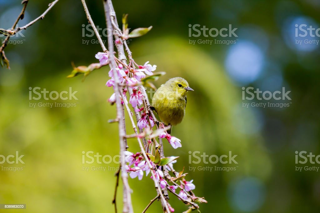 green warbler bird perched on branch trailing pink blossoms stock photo