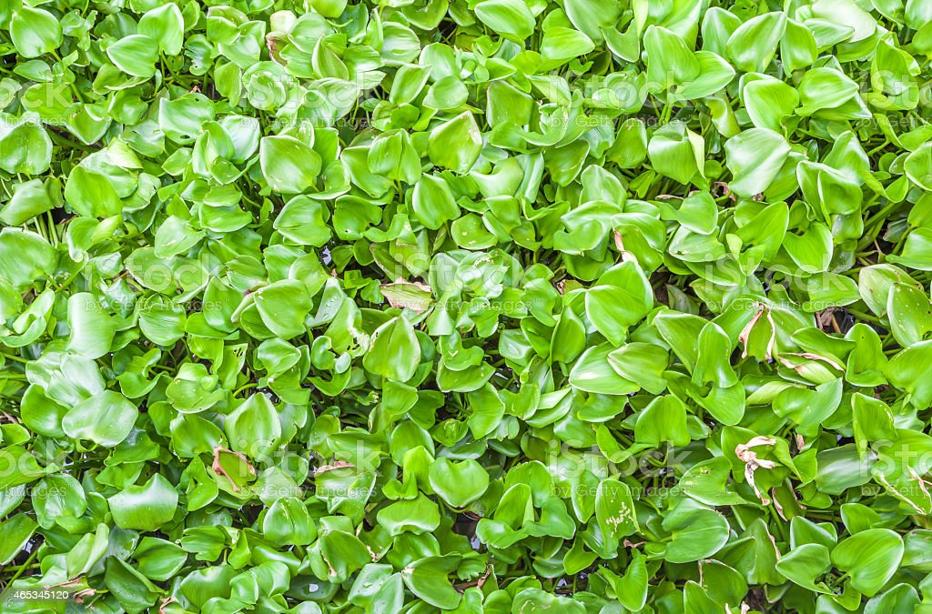 Green water hyacinth cover the pond, background pattern stock photo